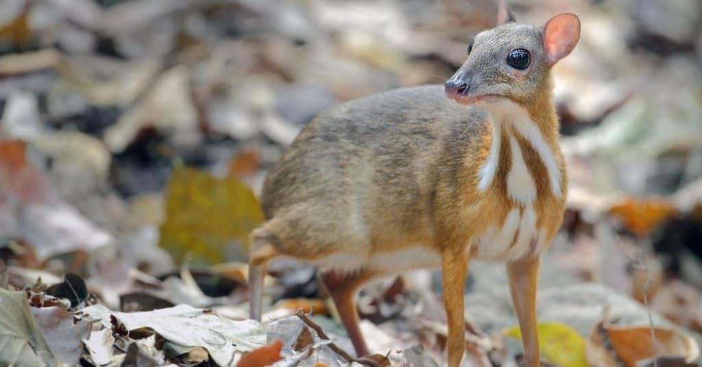 Animales más lindos: Chevrotain