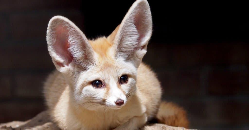 Animales más lindos: Fennec Fox