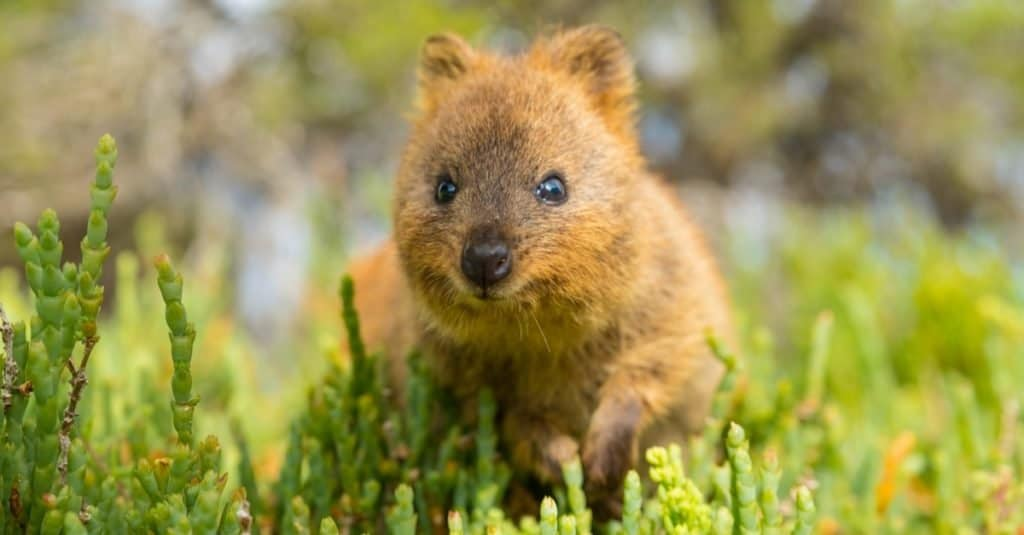 Animales más lindos: Quokka
