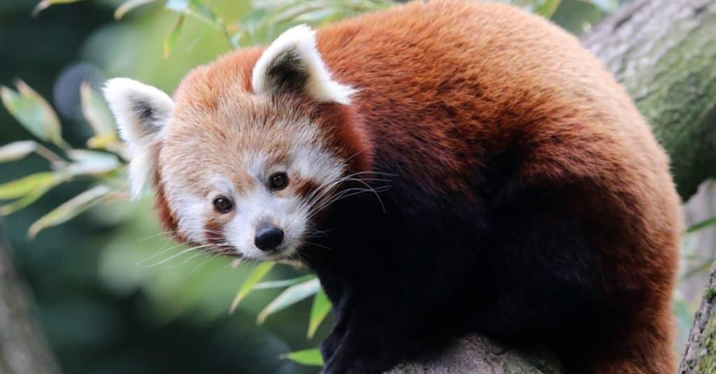 Animales más lindos: Panda rojo