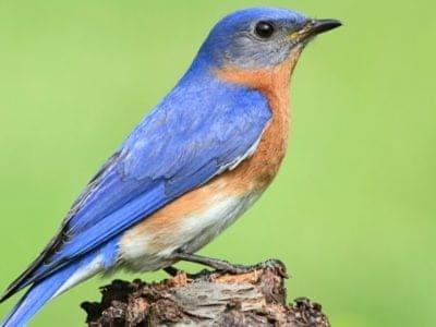 A Eastern Bluebird
