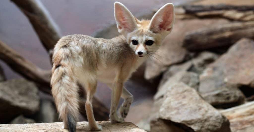 A fennec fox standing on a rock.