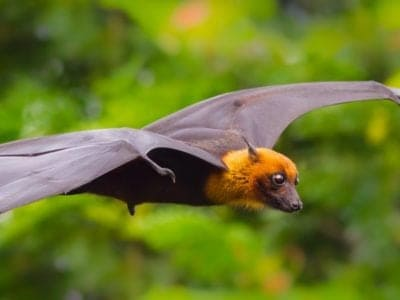 A Fruit Bat