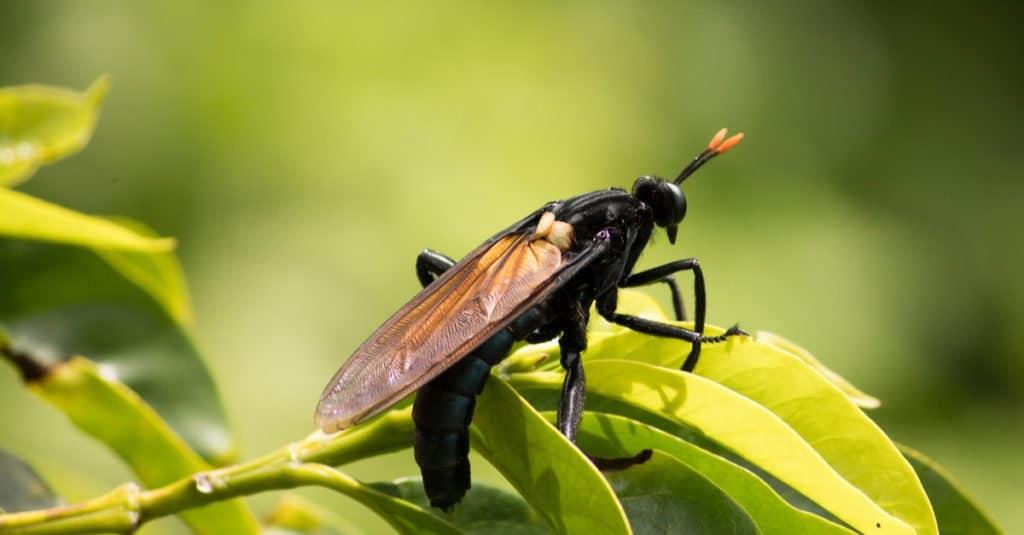 Insectos más grandes: moscas Mydas