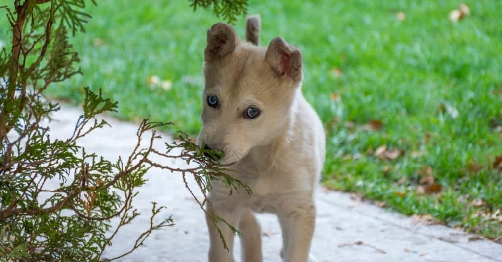 Gerberian shepsky puppy playing outside