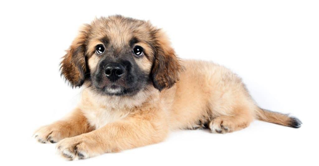 Puppy of golden retriever (shepherd), Golden Shepherd, isolated on white background.