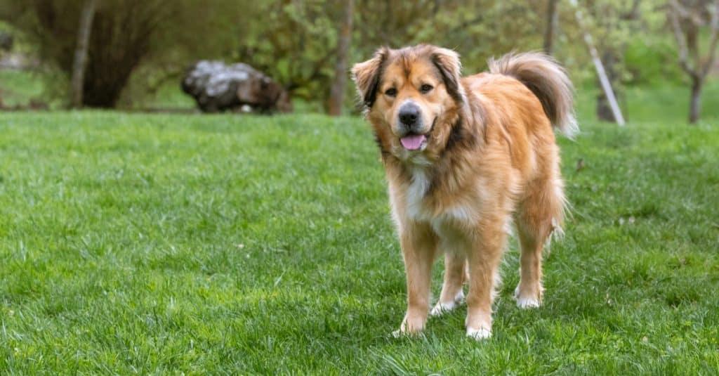 Happy golden shepherd mix dog in a grassy backyard.
