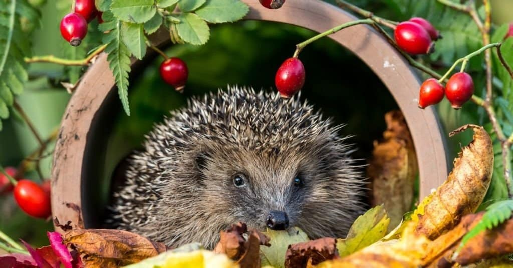 A hedgehog laying in fallen leaves near a green plant with red fruit.