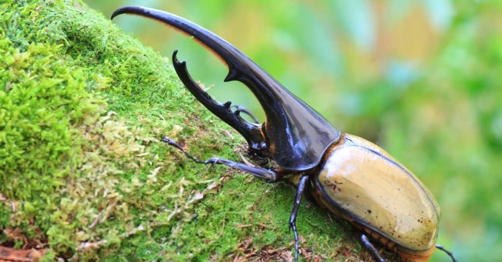 Insectos más grandes - Escarabajo Hércules