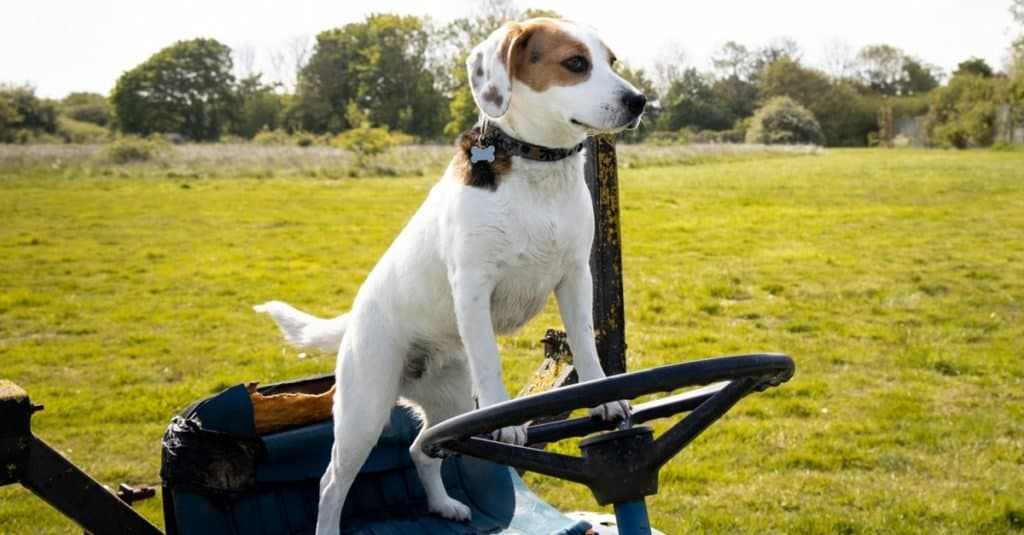 Jacabee standing on the seat of an old tractor with paws on the steering wheel.
