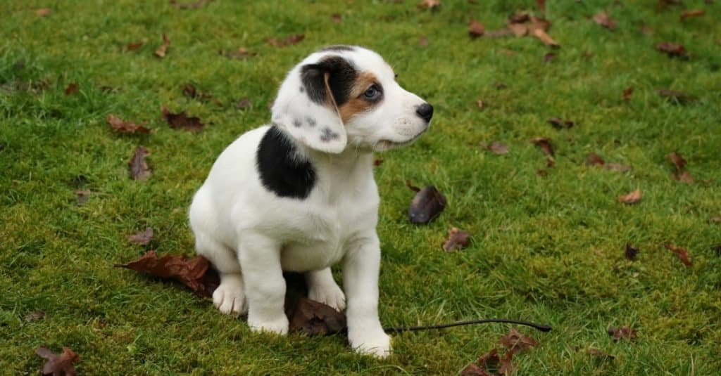 Young Jackabee (Beagle / Jack Russell cross) puppy sitting on the lawn.