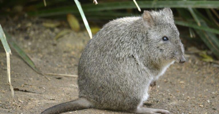 This rat kangaroo is a furry ball