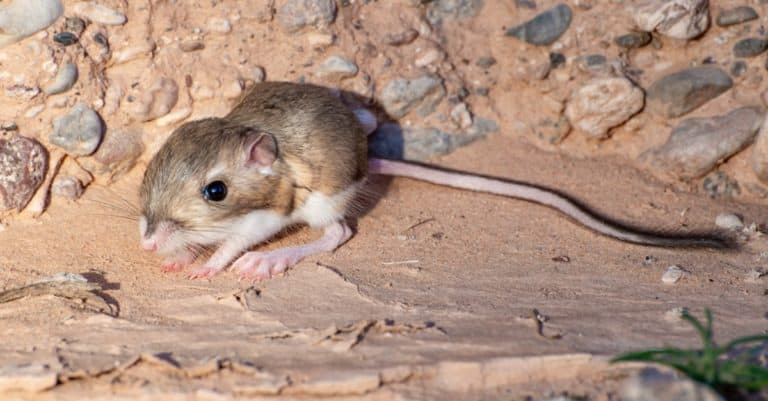 Merriam's Kangaroo Rat (Dipodomys merriami) with large rear feet for hopping. Found in a sandy wash outside Mesquite.