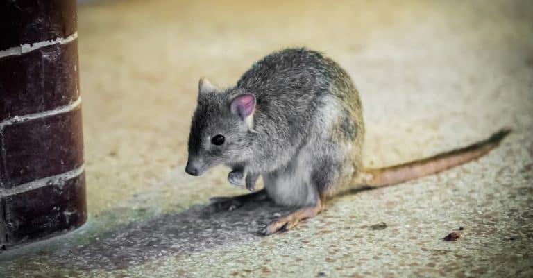 Kangaroo rat in the zoo