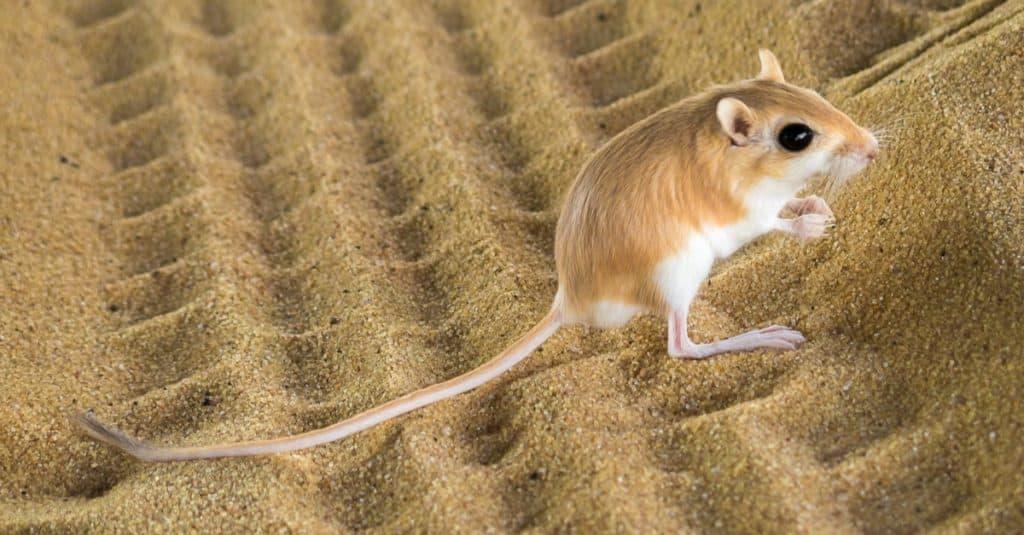 Desert kangaroo rat sitting in the sand