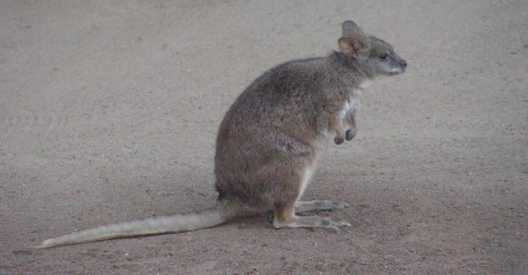 Kangaroo Rat (at the zoo)