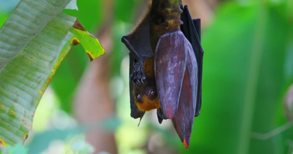 Largest Bats: Golden-crowned Flying Fox