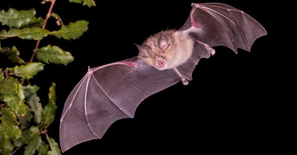 Largest Bats: Greater Horseshoe Bat