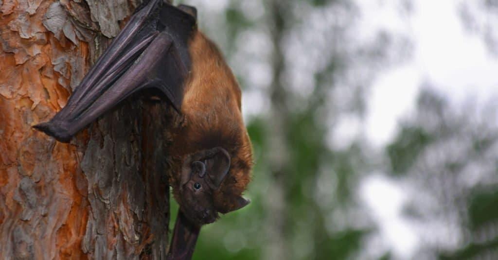 Largest Bats: Greater Noctule Bat
