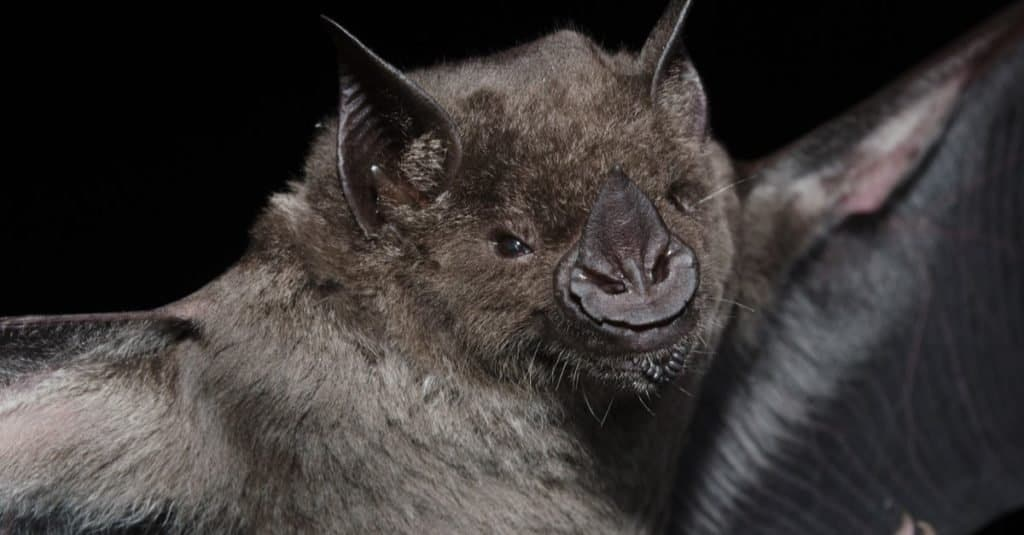 Largest Bats: Greater Spear-nosed Bat