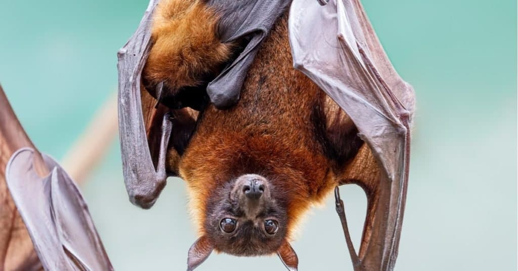 Largest Bats: The Great Flying Fox