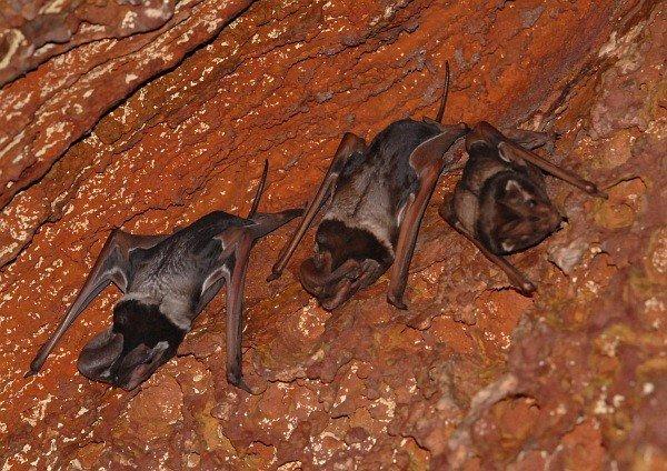 Largest Bats: Wroughton's Free-tailed Bat