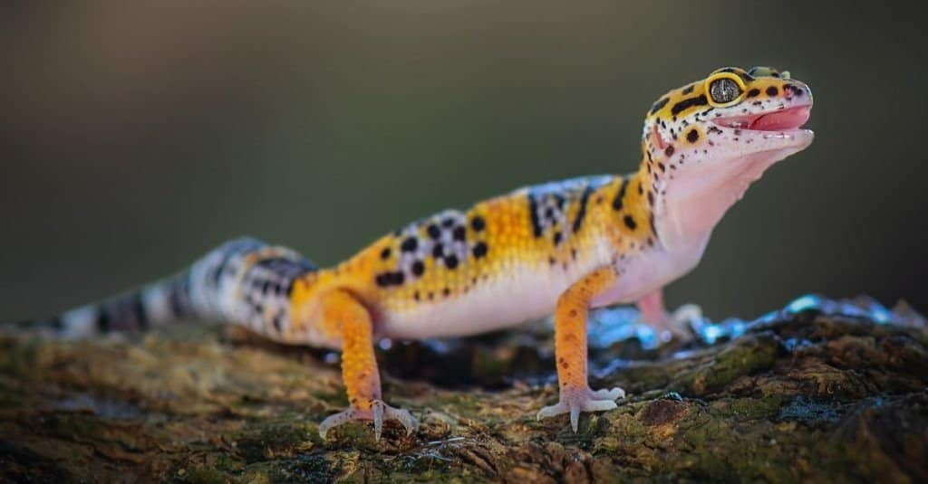 A leopard gecko standing on a tree branch.