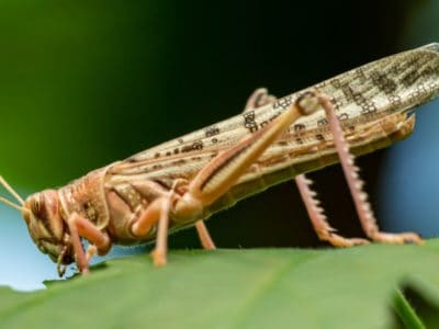 A Cicadas vs Locusts: What's The Difference?