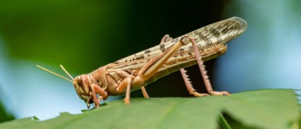 Cicadas vs Locusts: What's The Difference?