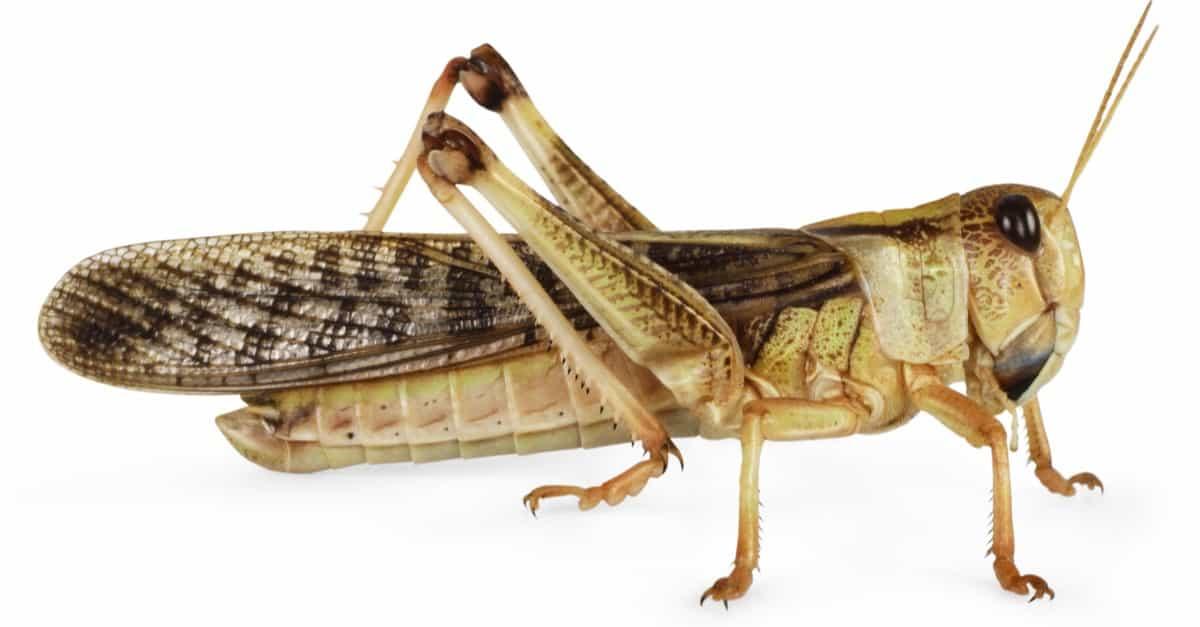 Locust Insect Facts   AZ Animals