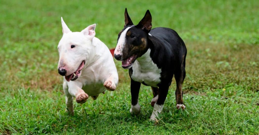 Two miniature bull terriers on the grass playing outside