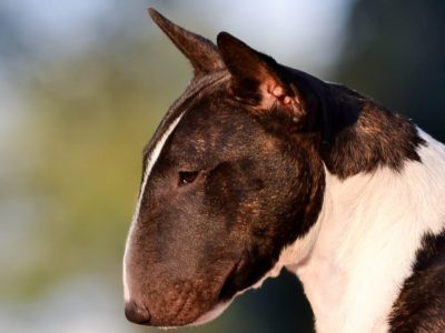 A Miniature Bull Terrier