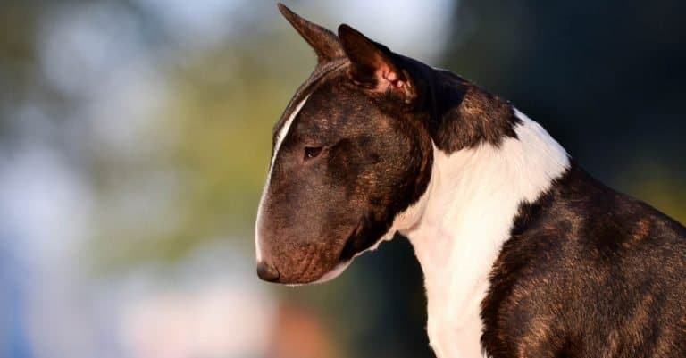 Miniature bull terrier close-up