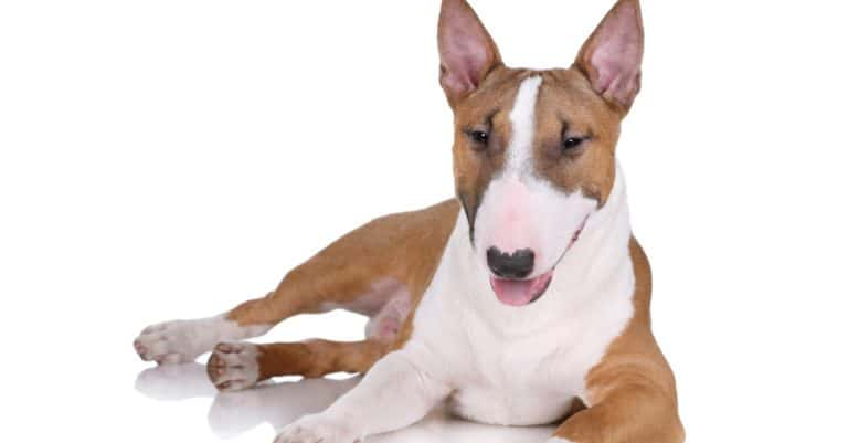 Miniature bull terrier isolated on white background
