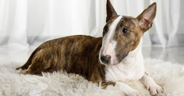 Miniature Bull Terrier dog lying on a fur rug on the living room floor