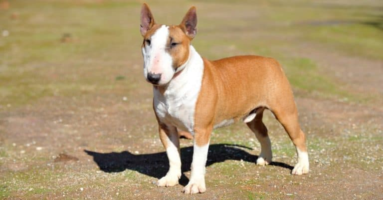 Miniature bull terrier purebred dog in the park