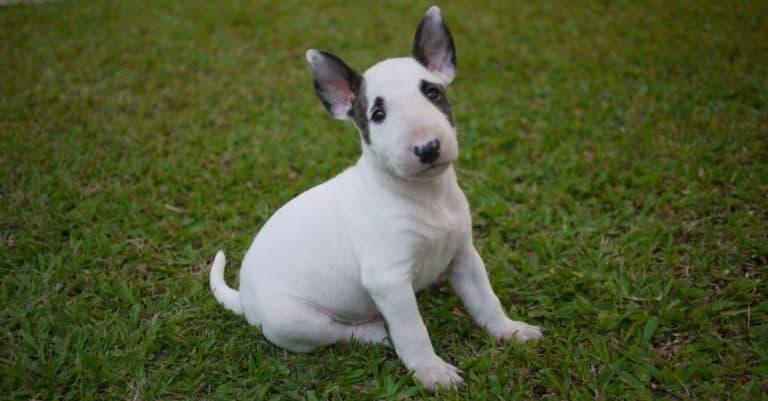 Miniature bull terrier puppy sitting on grass
