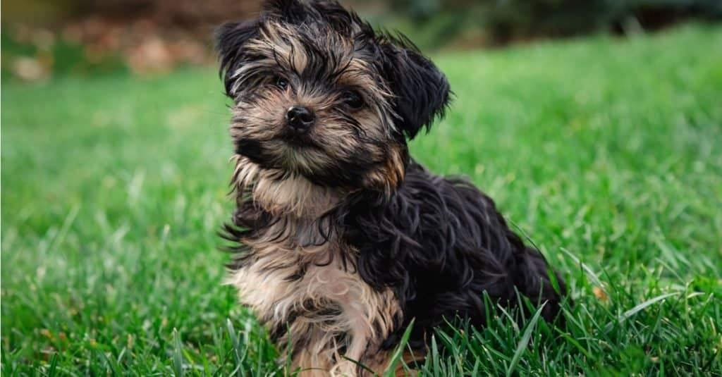 Close up of a cute teacup Morkie puppy outside on the grass