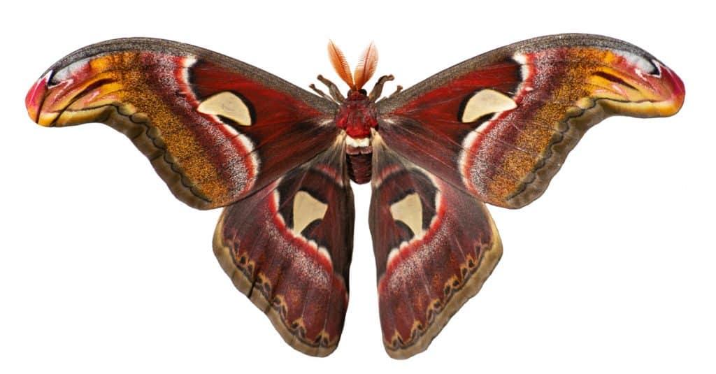 Insectos más grandes: polillas