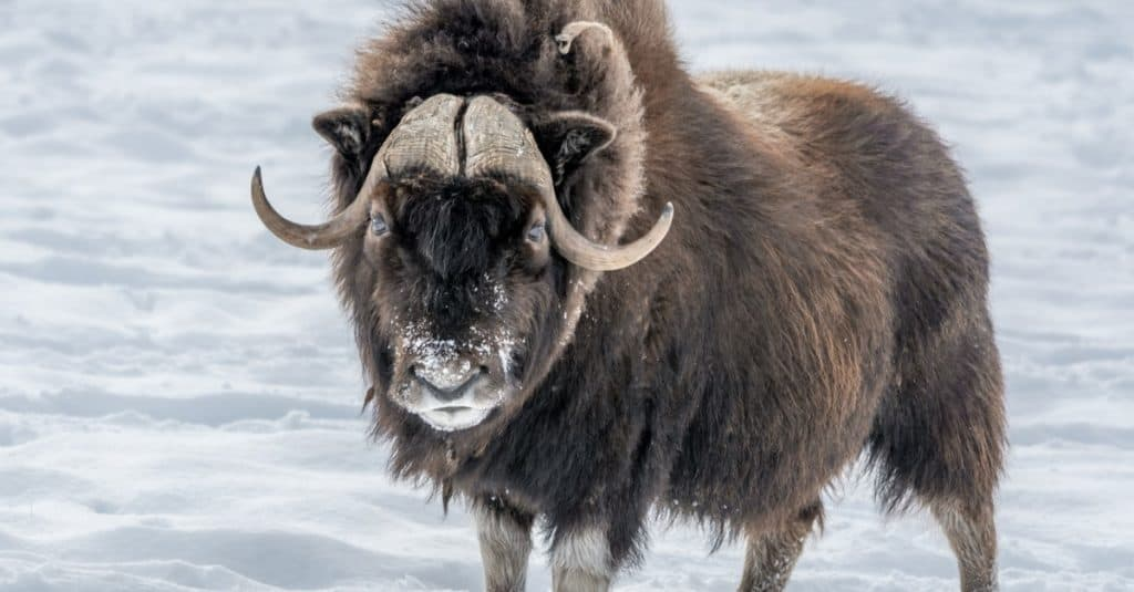 Muskox standing in the snow