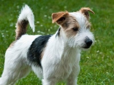 A Parson Russell Terrier