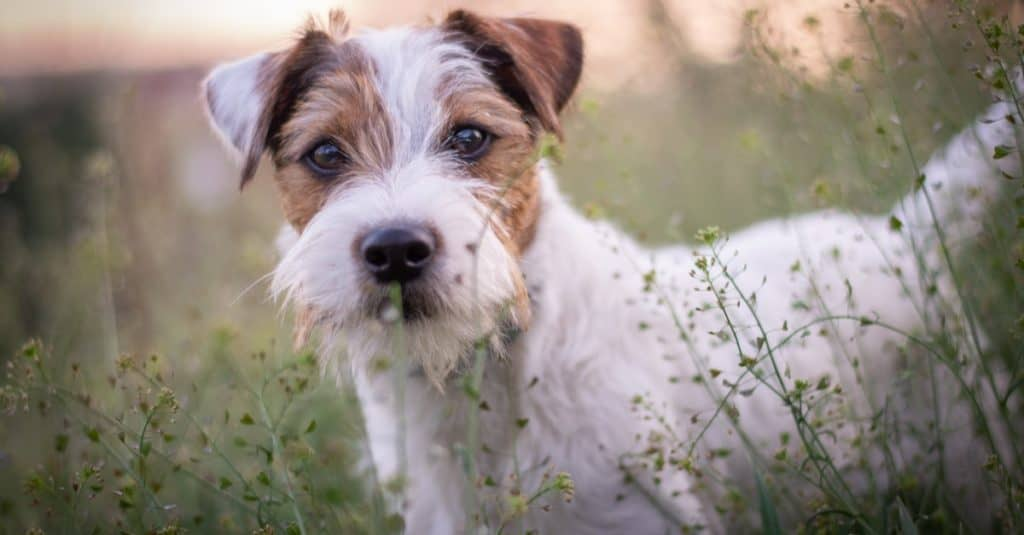 Parson Russell Terrier Sitting in Grass