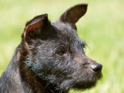 A Patterdale Terrier