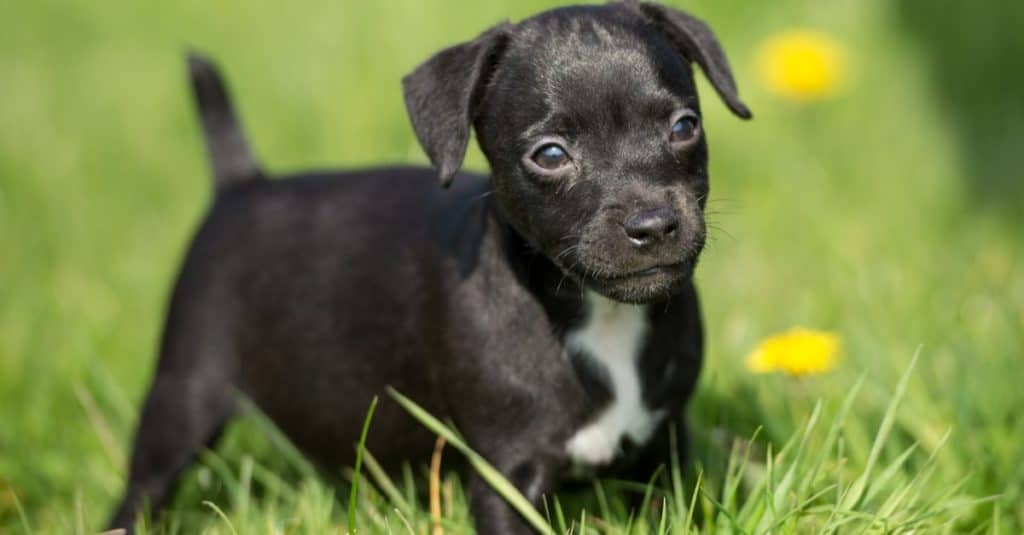 Black Patterdale Terrier Puppy in the spring grass
