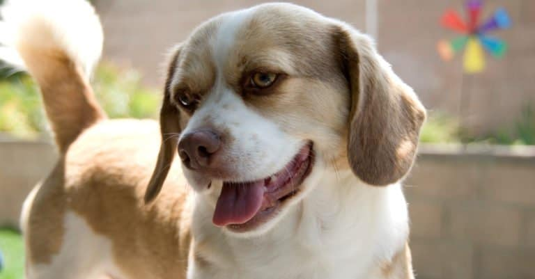 Happy Peagle dog smiling