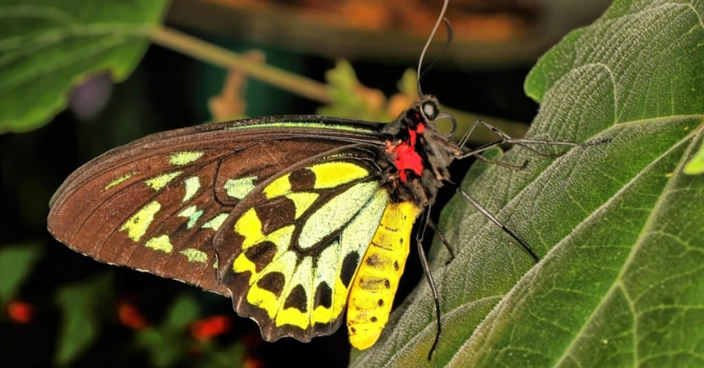 Largest Insects - Butterflies
