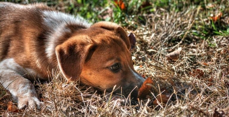 Raggle (Beagle Rat Terrier mix) hunting in the garden.