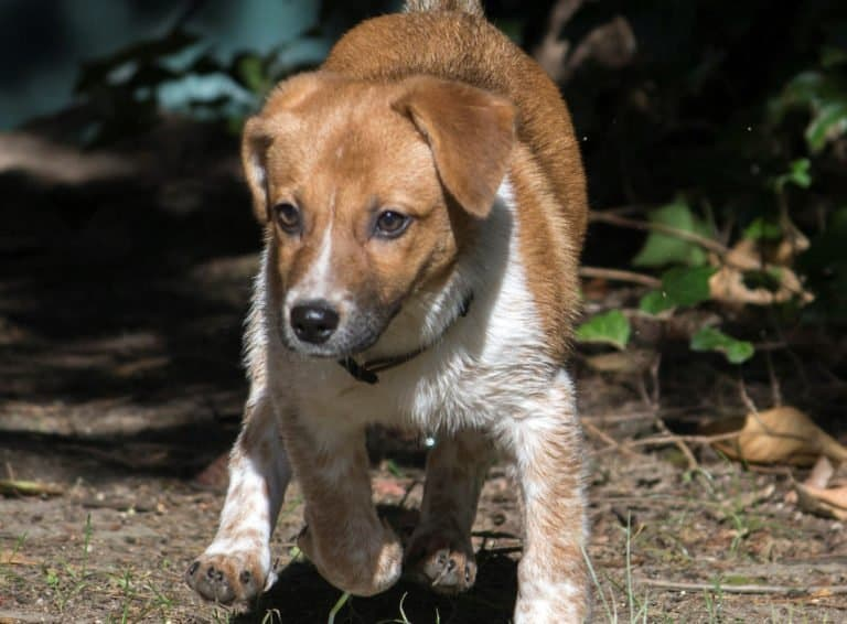 Raggle (Beagle Rat Terrier mix) puppy playing outside.