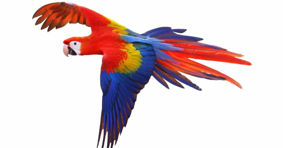 Scarlet Macaw Bird Facts | Ara macao | AZ Animals