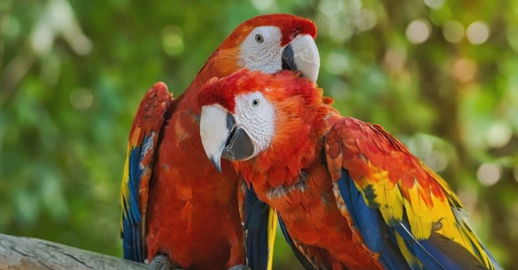 Portrait of two scarlet macaws perched on a tree branch against a colorful green background.